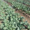 Rape and Tsunga vegetables for sale