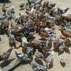 350 Boschveld point layer birds - Harare